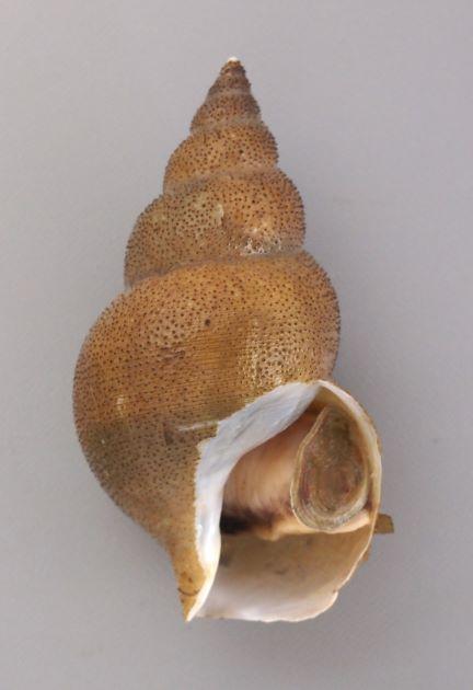 弱い螺肋(ヒモ状に隆起したもの)がなく、黒い粒状のブツブツが出ている個体。