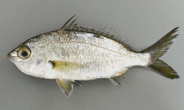 25cm前後になる。全体に銀灰色、非常に目が大きく、さわると鱗がザラザラする。口は下方に伸びて筒状になる。