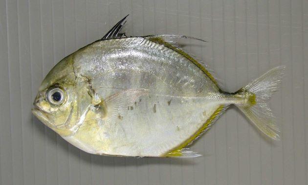 秋に本州で水揚げされる幼魚。