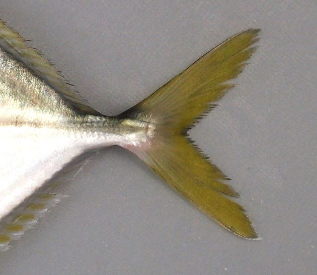 背鰭・尻鰭軟条部分と尾鰭は黄色みを帯びる特に尾鰭の形は鈍く、黄色い。