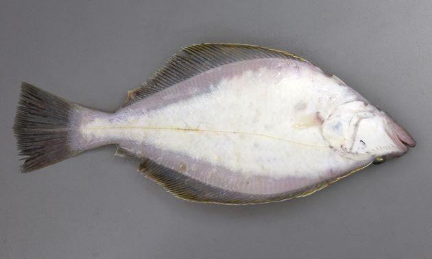 45cm SL 前後になる。カレイ類としては口が大きく、側線は直線的。裏側が白い。尾鰭は截形(せっけい)で後方に尖る。