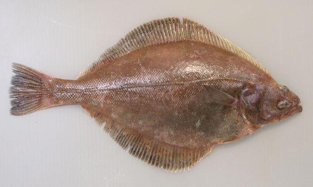 体長45cm前後になる。カレイ類としては口が大きく、側線が直線状。裏側が白い。