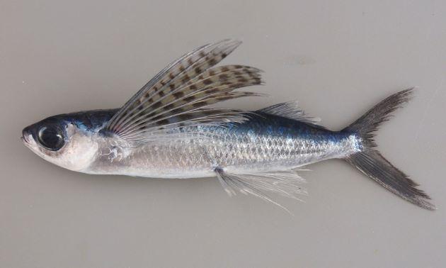 体長27cm前後になる。トビウオ科ではずんぐりしていいる。胸鰭の前方から3軟条(1本目は痕跡的で指の感触でわかるのみ)までが不分枝。胸鰭に黒い斑紋が規則的に並ぶ。