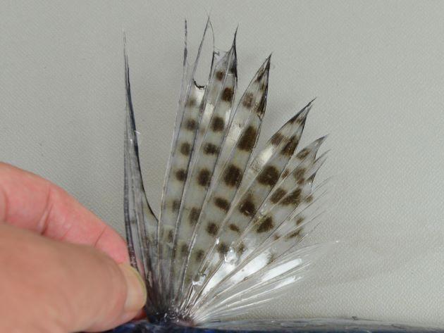 胸鰭に黒い斑紋が比較的規則的に並ぶ。