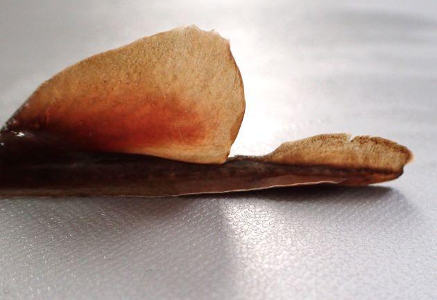 尾の皮褶はいちばん後ろの尾鰭の中央より少し後ろまで伸びる。
