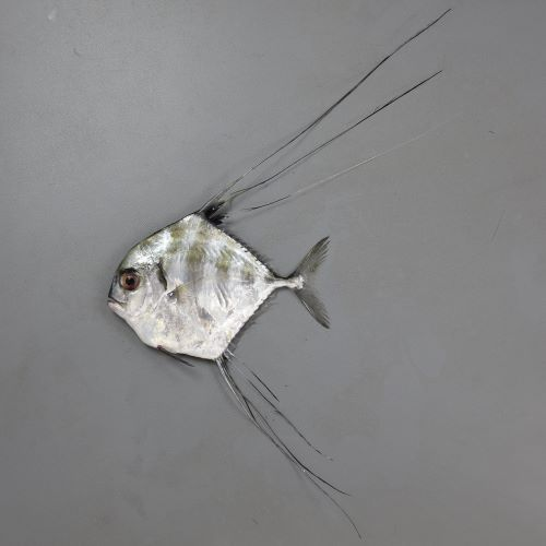SL1m前後になる。幼魚は身体が真四角に近く、背鰭、尻鰭が長い。頭部は背から吻にかけて丸みを帯びて目の先で直線的になる。成魚になると背鰭、尻鰭が短くなり、身体が長くなる。[SL10cm]