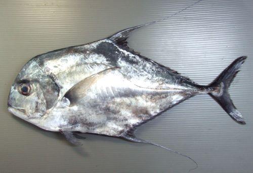 SL1m前後になる。幼魚は身体が真四角に近く、背鰭、尻鰭が長い。頭部は背から吻にかけて丸みを帯びて目の先で直線的になる。成魚になると背鰭、尻鰭が短くなり、身体が長くなる。[SL55cm]