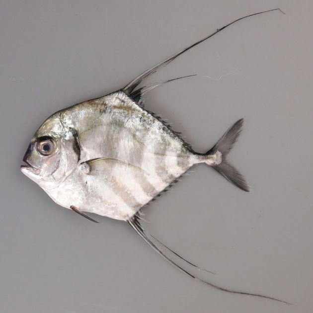 SL1m前後になる。幼魚は身体が真四角に近く、背鰭、尻鰭が長い。頭部は背から吻にかけて丸みを帯びて目の先で直線的になる。成魚になると背鰭、尻鰭が短くなり、身体が長くなる。[SL17cm]