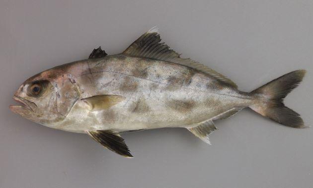 SL 53cm前後になる。体高は低く紡錘形でブリなどに近い。ぜんご(稜鱗)、小離鰭がない。第2背鰭に鰭膜があり、第1背鰭は黒もしくは濃い褐色。稚魚、若い個体には太い横縞がある。[SL28cm]