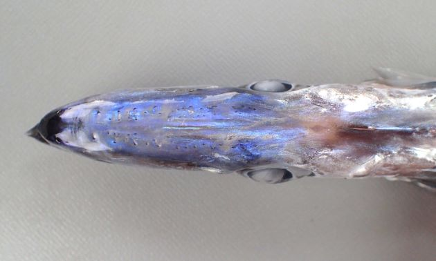 TL 1m 前後。尾鰭がある。頭部は低い。背鰭条数は95-99(写真は数えられた限りでは97)、尻びれは2棘70-76軟条。