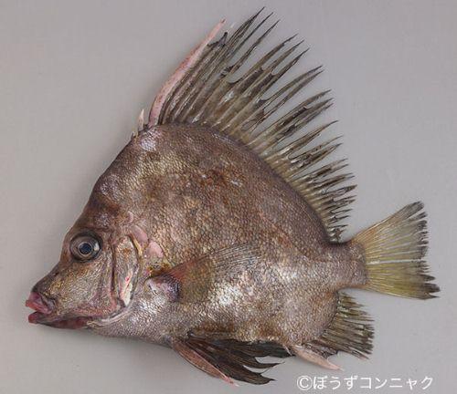 カワビシャの生物写真
