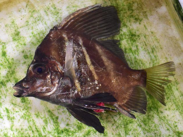 SL 40cm前後になる。横から見ると正三角形に近く、吻(口と顎)が突出している。背鰭第3、第4棘は太く長い。若い個体は体側に黒と褐色の横縞がはっきりしている。
