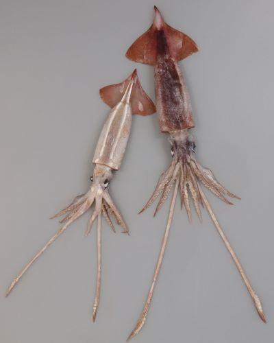 外套長20センチ前後。スルメイカに似て、先端部にかけて円錐形に細まる。腹側に二本の筋状発光器があり、頭部にまで続く。耳は大きい。