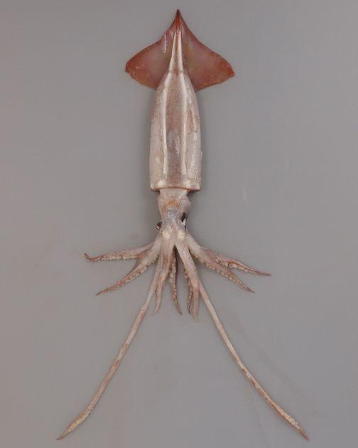 外套長20センチ前後。スルメイカに似て、先端部にかけて円錐形に細まる。腹側に二本の筋状発光器があり、頭部にまで続く。耳は大きい。[腹]