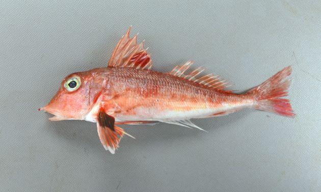体長16cm前後になる。背鰭基部に小さな棘が並ぶ。胸鰭び内側は濃緑色で周りは赤い。