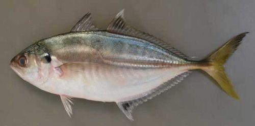 クロボシヒラアジの生物写真