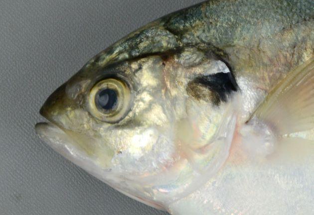 鰓蓋骨上部に黒い斑紋がある。マブタシマアジはこの斑紋がない。