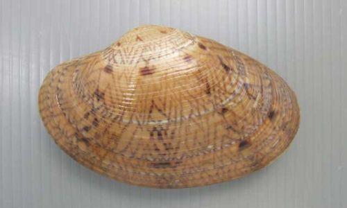 オオスダレガイの生物写真