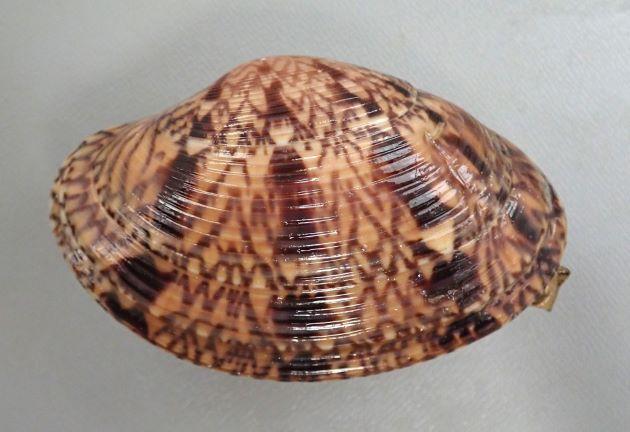 11cm SL(殻長)・殻高5.5cm前後になる。長楕円形だが側面から見て丸みが強い、膨らみは強い。殻表は同心円状の肋で覆われ、溝は浅い。肋間は狭い。軟体部足は赤い。
