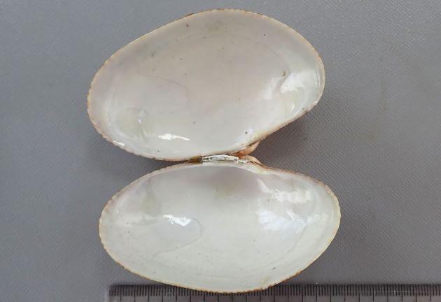 斜め格子状の褐色の筋があり、3つ前後の濃い放射状の帯がある。この褐色の筋は貝殻内側にまではほとんど達しない。ほとんど見えない。