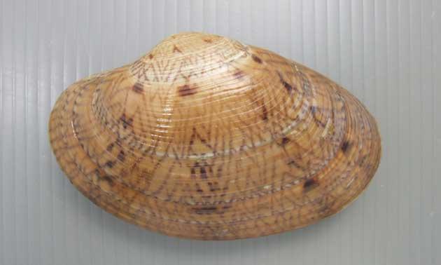 オオスダレガイの形態写真