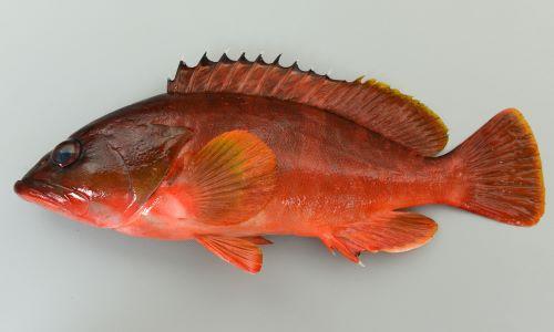 体長30cm前後になる。全体に赤く、濃い横縞が5本ほど走る。体側に白い不定形の斑文が散らばる。背鰭の上の縁は黒い。