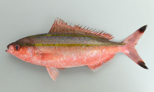 30cm前後になる。独特の色合いに黄土色の明瞭な縦筋がある。尾鰭の先端部に暗色(黒い)斑紋がある。ニセタカサゴと非常に似ている。背上部から2本目の筋は側線よりも下を通る。