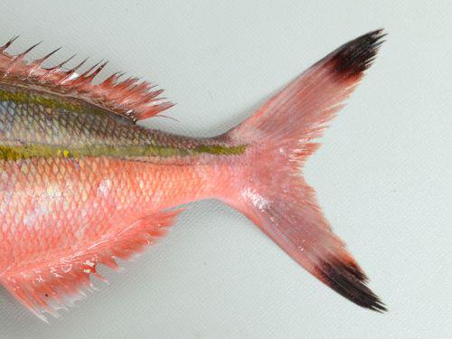 尾鰭の先端部に暗色(黒い)斑紋がある。