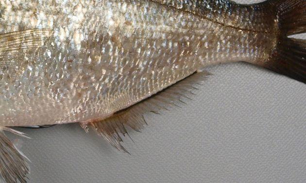 尻鰭基部には黒い筋がある。