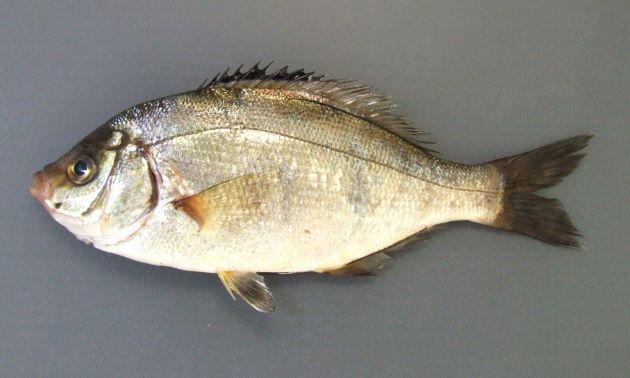20cm SL前後になる。体色は黄色みがかったり銀色であったりする。前鰓蓋骨の斑紋は比較的小さく1つの個体と2つの固体がある。尻鰭基部には黒い筋がある。