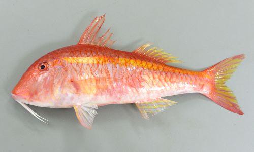ウミヒゴイの生物写真