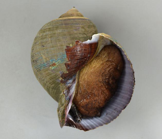 殻長24cm前後。非常に大型でバスケットボールくらいになる。貝殻は薄く螺肋は低く、肋間に細い二次肋がある。