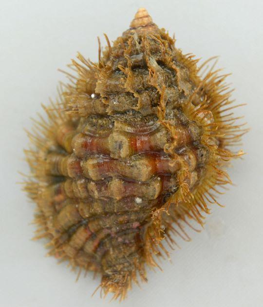 殻高12センチ前後になる。殻皮は厚く毛が全体を覆っている。