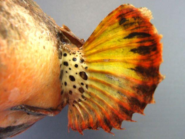 胸鰭内側はつけ根に小さな褐色の斑紋があり、周辺部に褐色の斑紋がある。