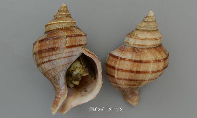 ウスムラサキエゾボラの形態写真