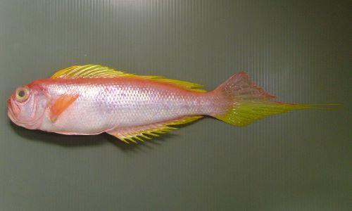 オキアマダイの生物写真