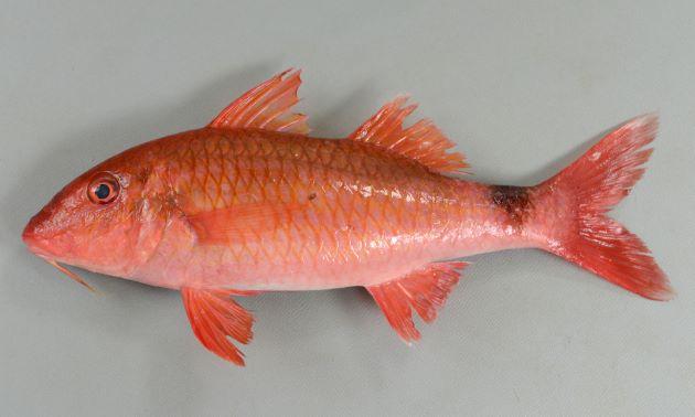 体長35cm近くになる。下顎のヒゲは鰓蓋骨後端に遙かに達しない。尾鰭に褐色の斑紋があり、側線よりも下まで伸びる。尻鰭基底部は短く、尻鰭が長い。