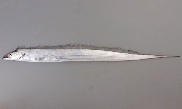 体長1.5m前後になる。銀白色で著しく側扁(左右に平たく)、細い帯状で細長い。鱗、尾鰭と腹鰭がなく、背鰭は長く、尻鰭は皮下に埋もれて見えない。