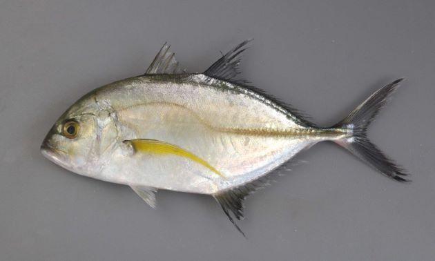 SL 117cm(体長)前後になる。国内ではSL 50cm前後までが多い。脂瞼が発達し体側の後半部分に稜鱗(ぜんご)がある。胸部は完全に鱗で被われる。目が口のラインよりも上にあり、口の後端よりも後ろにある。[若魚]
