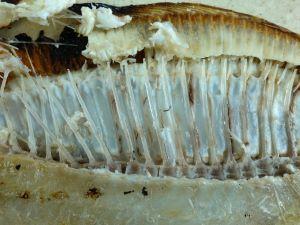 ガンゾウビラメの骨