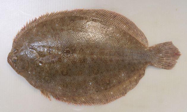ガンゾウビラメの形態写真