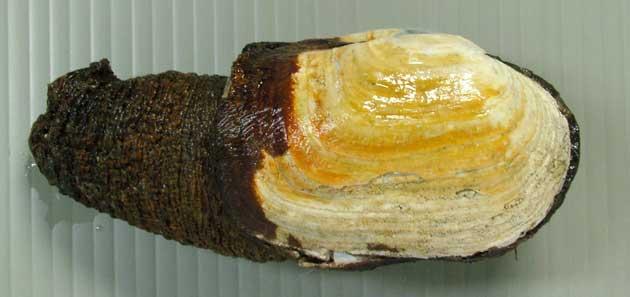 チシマガイの形態写真