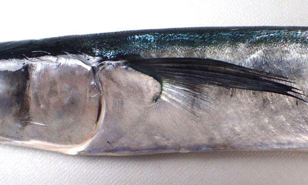 側線は腹部を通るが胸鰭の方向に分かれて上に向かう枝状のものはない。