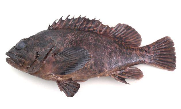 体長30cm前後になる。顕著な斑紋がなく全体に暗色。胸鰭前、腹部に胡麻状の褐色の斑紋があるものとないものがある。鱗は背鰭基底部分にまである。[旧ホシナシムラソイ型]
