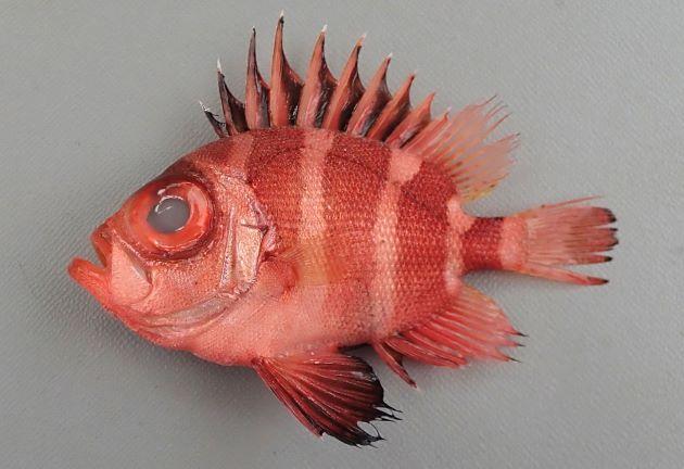 18cm SL 前後になる。体高があり、側へんするが意外に左右に厚みがある。体色に赤い横帯があるが、成長するとわかりにくくなる。背鰭後端・尾鰭・尻鰭の縁辺は黒くない。[9.5cm SL 31g]