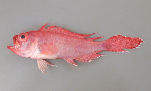 ソコアマダイモドキの生物写真