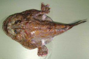 シモフリハナアンコウのサムネイル写真