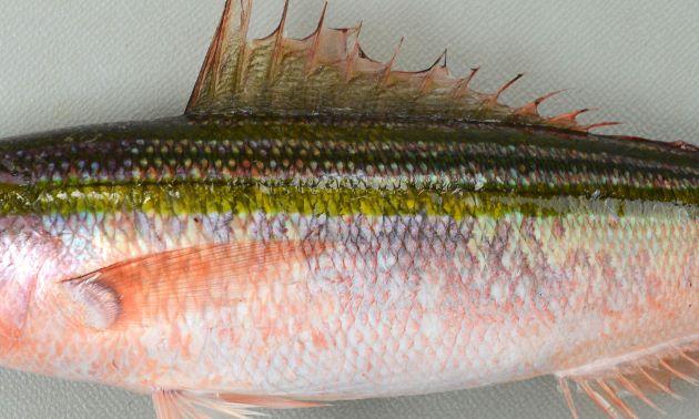 側線は中央部分を走る褐色の縦縞に沿ってある。