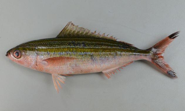 体長30cm前後になる。体側に2本、もしくは1本(背鰭に近いところのは不明瞭であることも多い)の褐色の縦縞がある。尾鰭先端に黒い斑紋がある。側線は中央部分を走る褐色の縦縞に沿ってある。