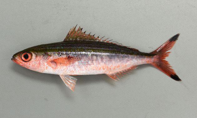 30cm SL 前後になる。体側に2本、もしくは1本(背鰭に近いところのは不明瞭であることも多い)の褐色の縦縞がある。背鰭下部に鱗がある。側線は中央部分を走る褐色の縦縞に沿ってある。尾鰭先端に黒い斑紋がある。[15cm SL ・重さ49g]